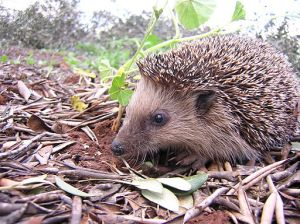 Igel by Gibe wikimedia commons