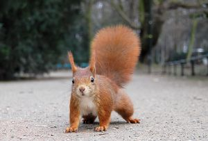 Red squirrel by Ray eye wikimedia commons copy